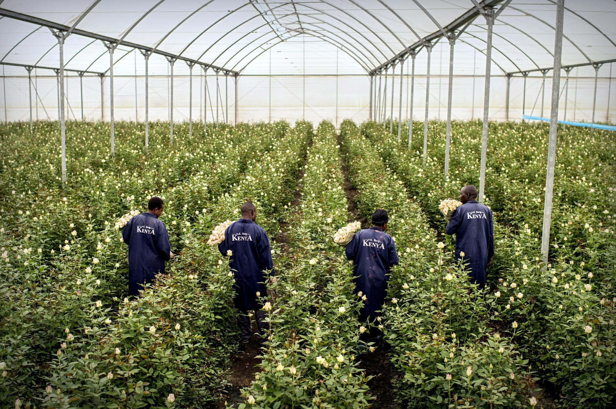 Production de roses dédiées à l'export.