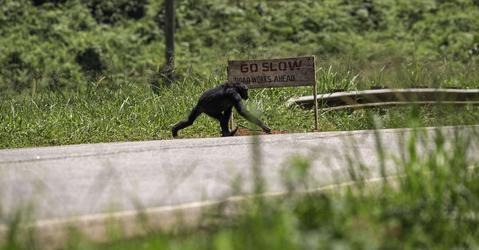 Chimpanzé traversant une route
