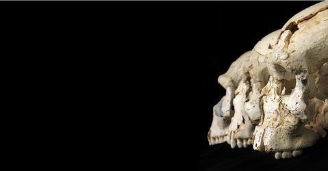 Crânes d'hominines provenant du site de Sima de los Huesos (Espagne), où des milliers d'os et de fragments d'os ont été exhumés depuis sa découverte en 1984.
