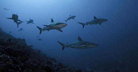 Requins gris de récif dans l'une des passes de Fakarava