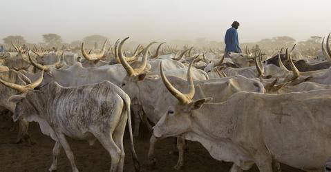Troupeau de vaches dans la région du Ferlo, au nord du Sénégal
