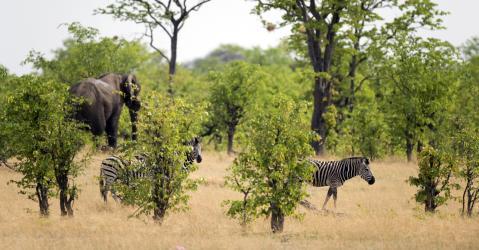 Zèbres dans le parc de Hwange