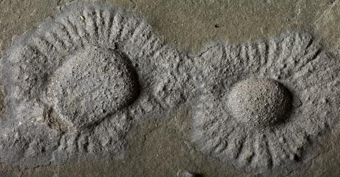 Macrofossile