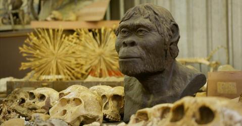 Reconstitution d'une tête d'australopithèque au milieu de crânes de la même espèce.