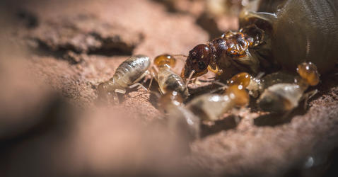 Reine termite entourée par des soldats