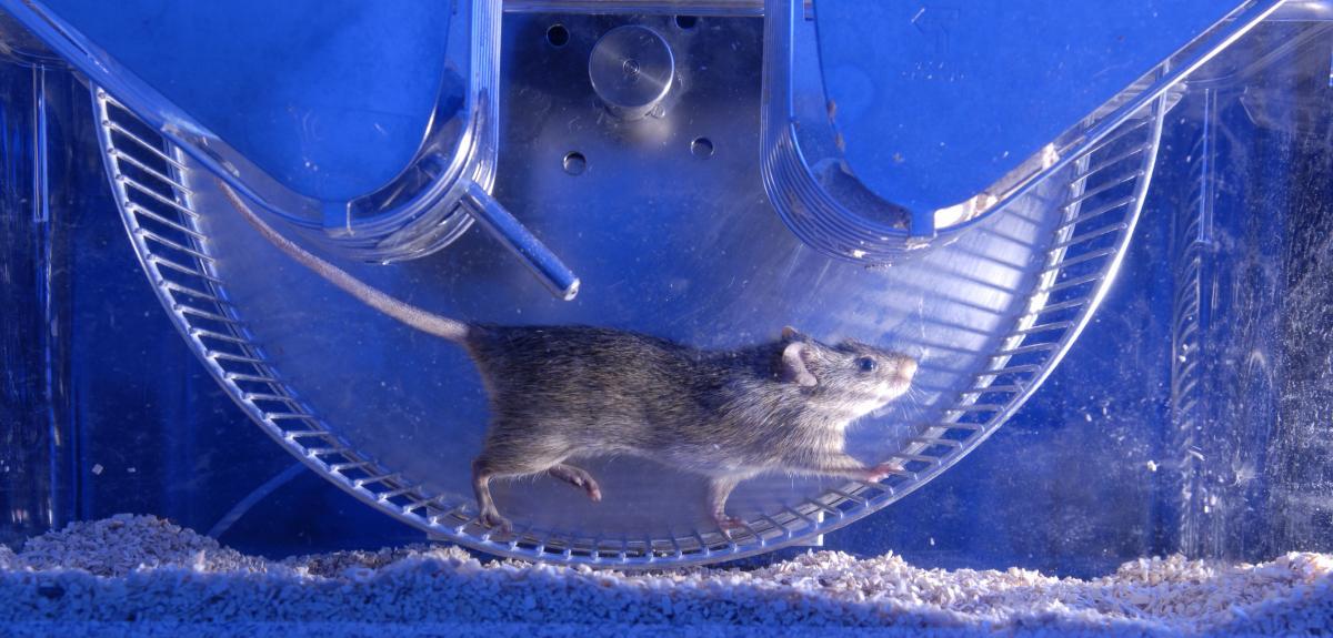 Expérimentation sur le rat.