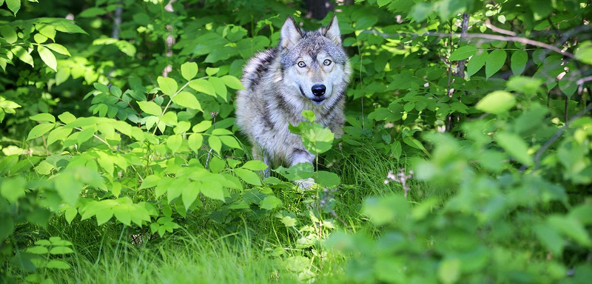 Des loups, des cerfs et des hommes