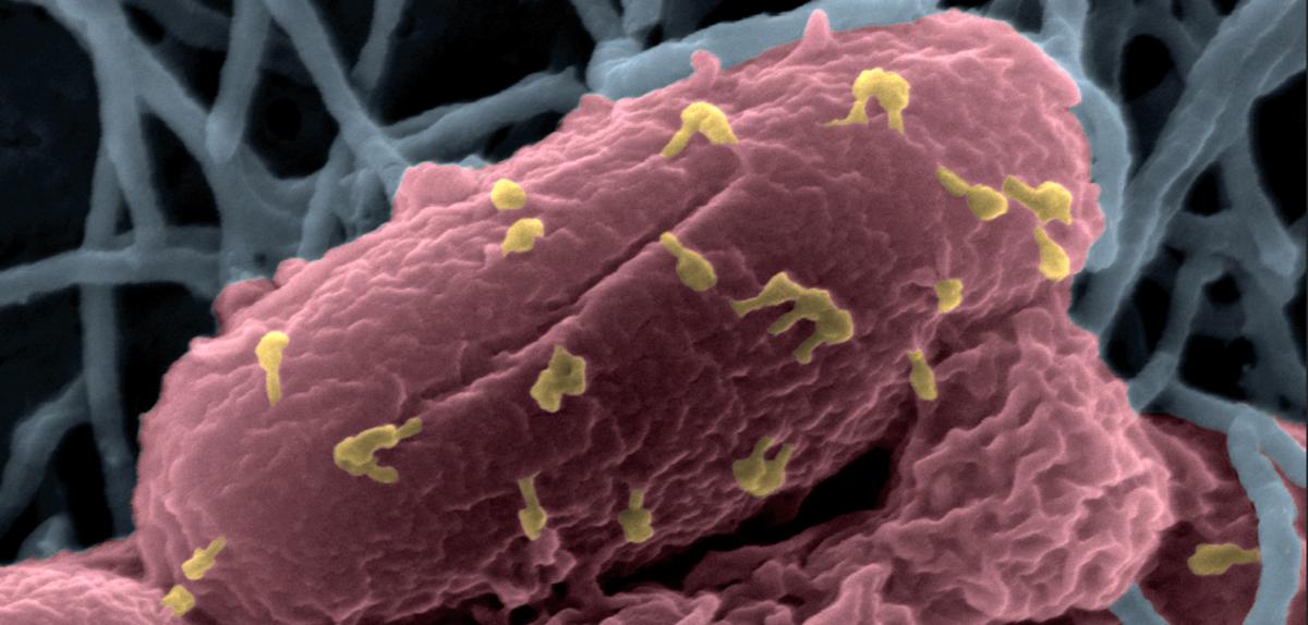 Des virus à l'assaut des bactéries