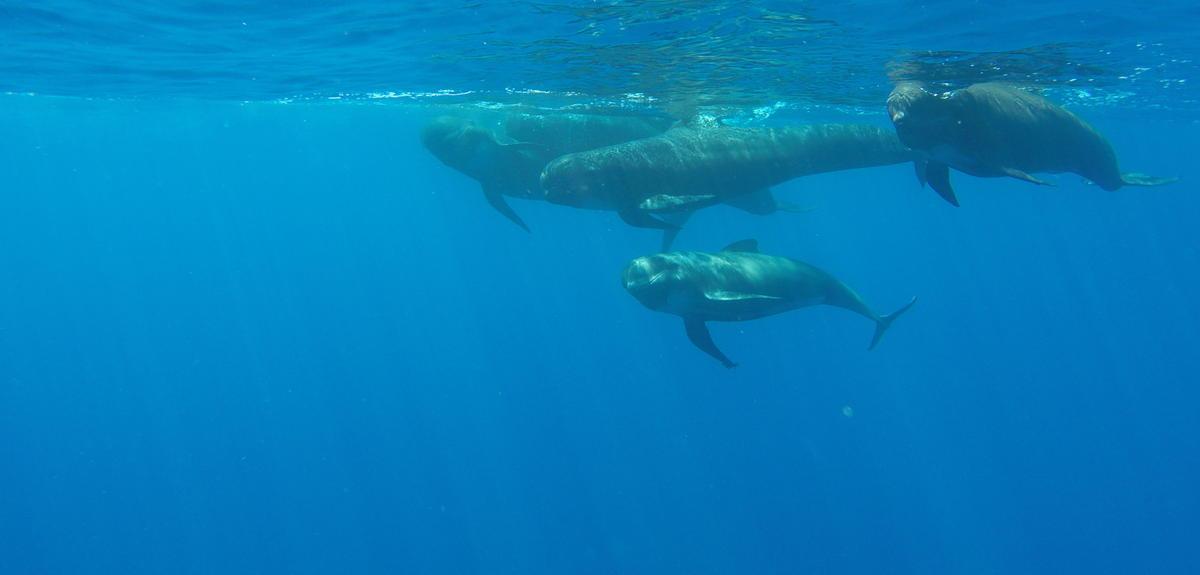 Groupe de globicéphales nageant sous l'eau
