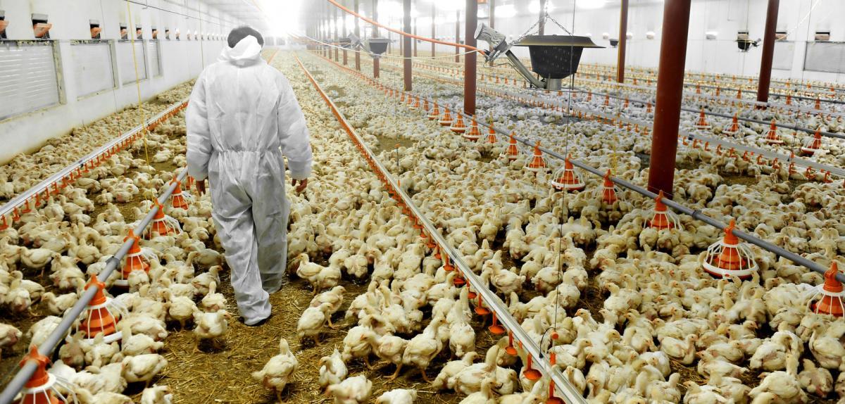 Élevage industriel de poulets.