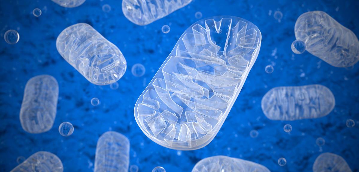 Illustration mitochondries