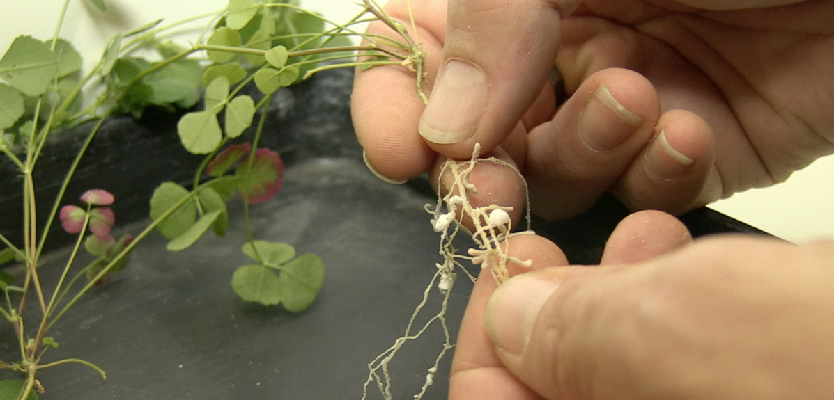 Mains qui tiennent les racines d'une petite plante verte