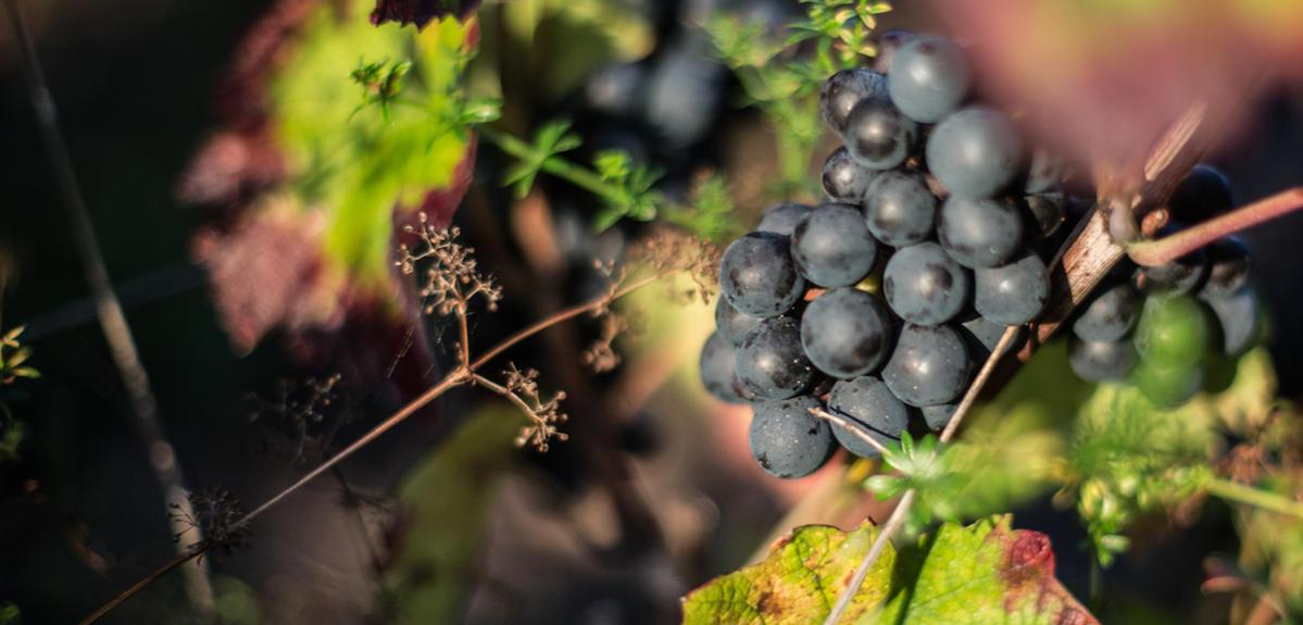 Comment diagnostiquer le dépérissement de la vigne