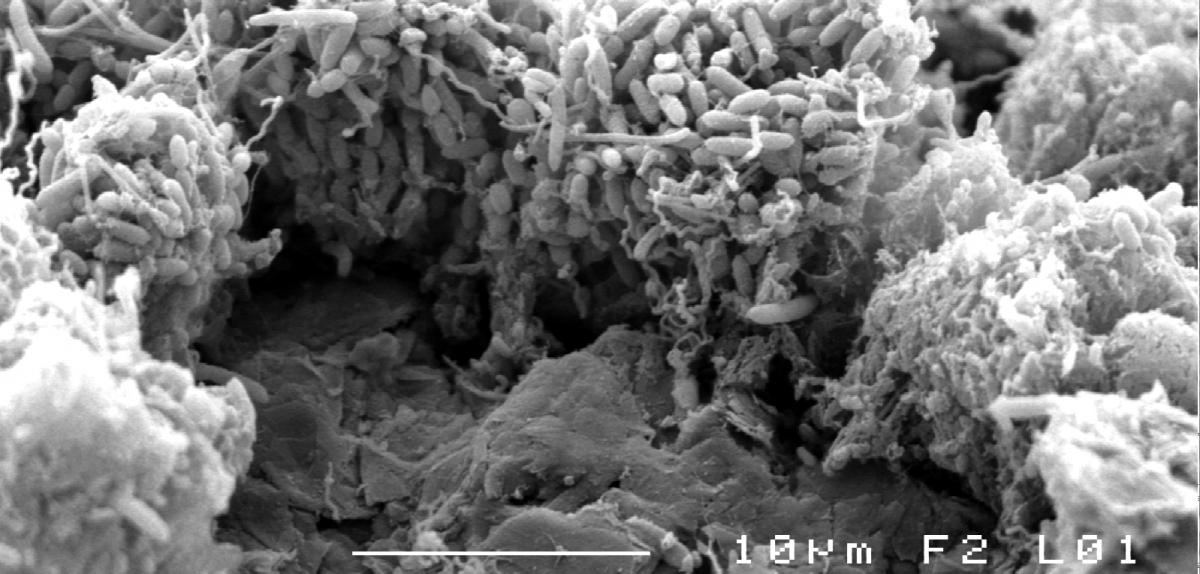 Bactéries électroactives sur l'électrode de graphite d'une biopile