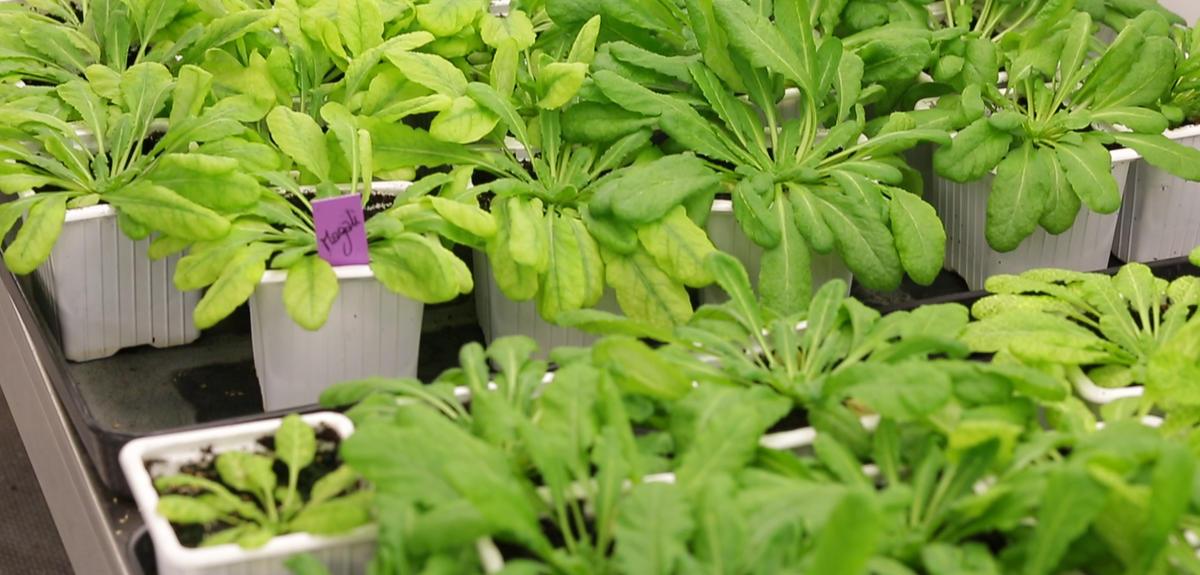 Plantes en cours d'étude dans un laboratoire
