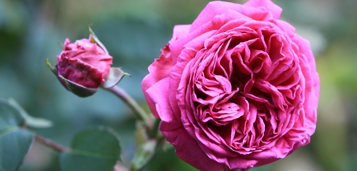 Rosa borboniana