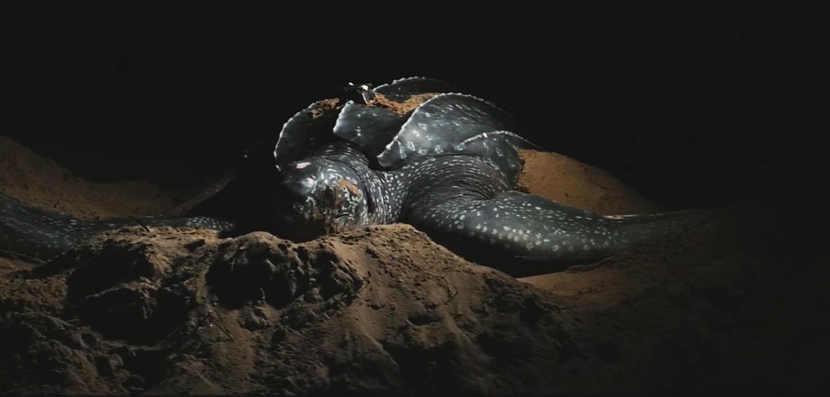 Une nuit avec les tortues luths cnrs le journal - Images tortue ...