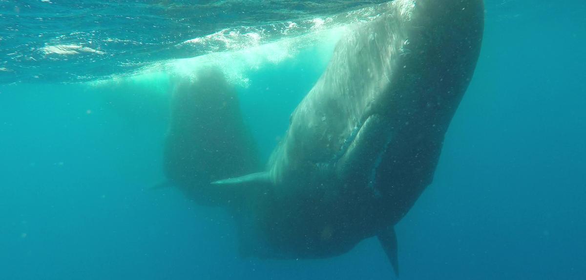 Image sous-marine de cachalots