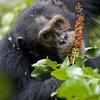 Automédication  : chimpanzé mangeant une plante de la famille des phytolaccacées