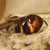 Frelon asiatique sur nid