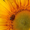 Gros plan de tournesol avec abeilles dessus